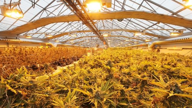 """Nun kann es losgehen mit Cannabis """"made in Germany"""": Das BfArM erklärte am heutigen Montag, das Vergabeverfahren nun abgeschlossen zu haben. (b/Foto: kanadische Produktionsanlage von Wayland, copyright: Wayland)"""