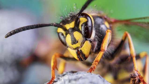 """Was tun, wenn eine """"Echte Wespe"""" gestochen hat? Wespenstiche sind in der Apotheke im Sommer ein Thema. (Foto: murgvi / Adobe Stock)"""