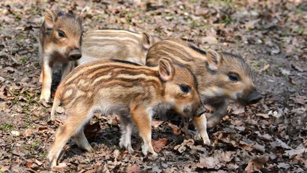 Was ist die Afrikanische Schweinepest?
