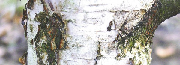 Birkenrindenextrakt zur Wundheilung