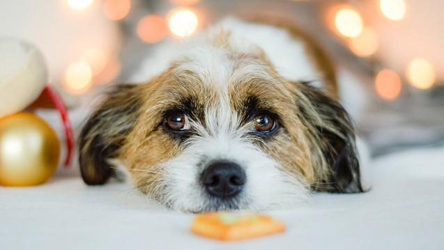 Die typischen Weihnachtsleckereien sind für Vierbeiner nicht geeignet. Fett, Gewürze und Süßigkeiten können der Tiergesundheit schaden. (c / Foto: Sonja / stock.adobe.com)