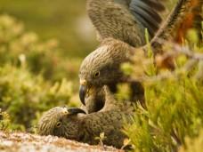 Neuseeländische Papageien stecken sich durch bestimmte Schreie gegenseitig mit Spielfreude an. Foto: Raoul Schwing/Cell Press