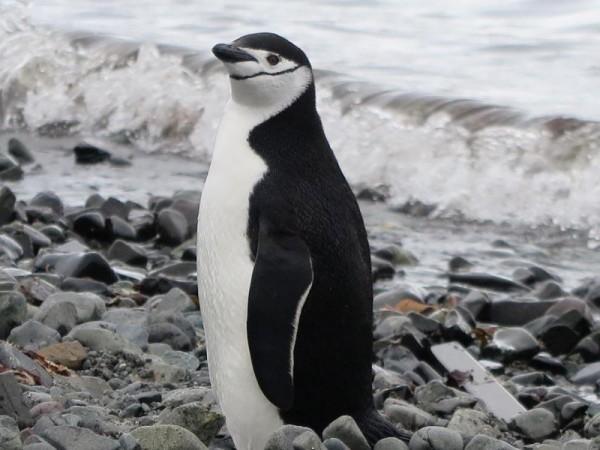 Pinguine im Regen - Klimawandel in der Antarktis