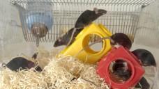 Der LD50-Test wird zum Leidwesen von Mäusen noch immer genutzt - obwohl es Alternativmethoden gibt, (Foto: vfa)