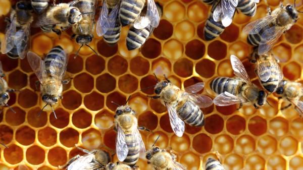 Bis zu drei von fünf Bienengift-Allergenen sind unterdosiert