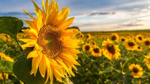 Schmerzen stillen mit Sonnenblumen