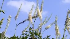 Der Wurzelstock der Traubensilberkerze enthält verschiedene Triterpenglykoside, die Estrogen-ähnliche Wirkungen vermittel sollen. (Foto: emer / stock.adobe.com)