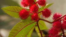 Rizin wird aus der Ricinus-Pflanze gewonnen. Es gibt keinen Antidot gegen das Gift, der Tod tritt nach 36 bis 72 Stunden ein. (Foto: Imago)