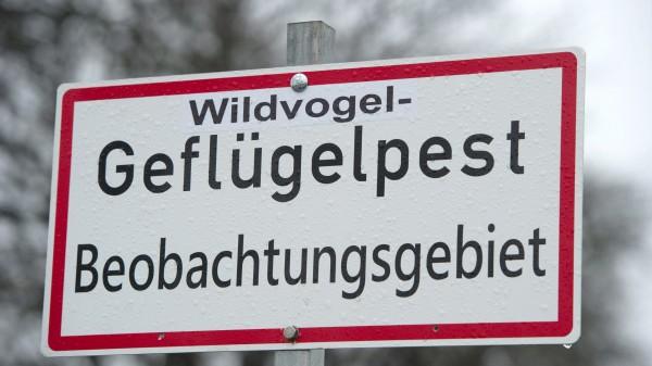 Vogelgrippe erstmals auch in Niedersachsen