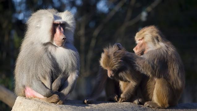 Nicht nur beim Lausen: Der Sozialstatus ist bei Affen wie auch beim Menschen von zentraler Bedeutung. (Foto:Composer / Fotolia)
