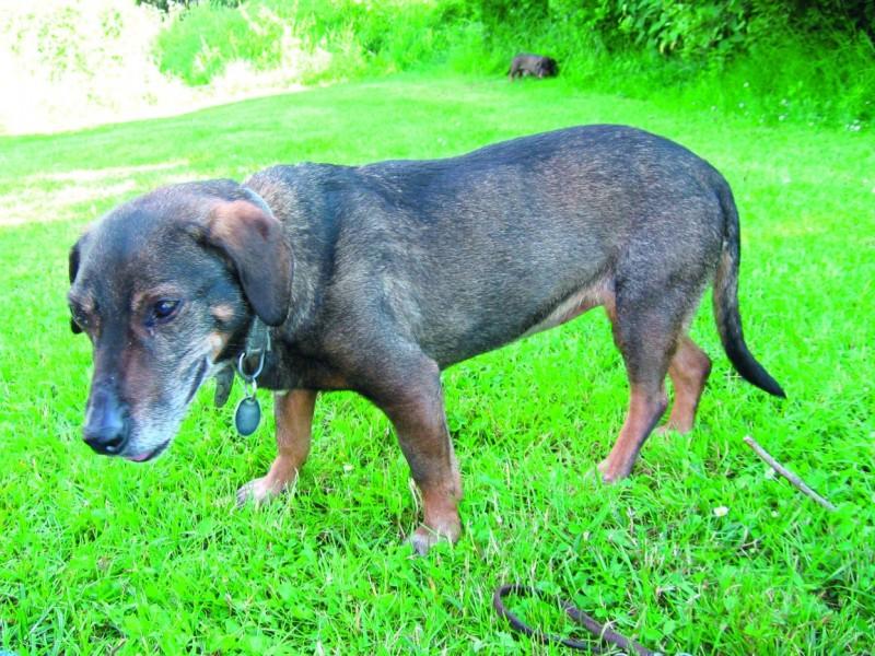 Hund Herzklappenfehler