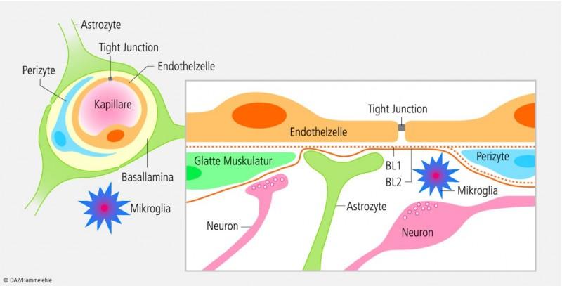 Mit Nanopartikeln Die Blut Hirn Schranke Uberwinden