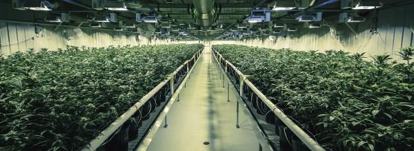 High-Tech-Anbau von Cannabis