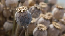 Heroin wirkt zwar gegen Schmerzen. Doch der Opium-Eigenanbau zu medizinischen Zwecken ist in Deutschland kein Thema. (Foto: adragan / Fotolia)
