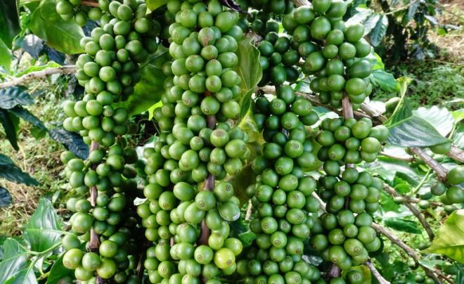 Grüne Bohnen - Kaffee ist seiner ursprünglichsten Form. (Foto: Ninon-t / Fotolia)