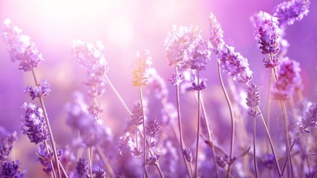 Wie wirkt Lavendel beruhigend? (Foto: lily / stock.adobe.com)