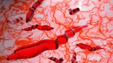 Der Parasit Trypanosoma brucei ist der Übeltäter hinter der Schlafkrankheit. Die EMA empfiehlt nun die Zulassung eines neuen oralen Arzneimittels: Fexinidazol. (Foto: fotovapl / stock.adobe.com)