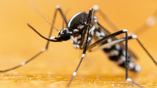 Die invasive Asiatische Tigermücke (Aedes albopictus) mit ihrer auffälligen Zebramusterung hat es in sich. Sie überträgt gleich mehrere exotische Krankheitserreger. (Foto: gordzam / stock.adobe.com)