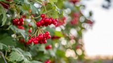 Cranberries - als Medizinprodukt gegen Blasenentzündungen haben ihre Extrakte in Europa ausgedient. (Foto: Garmon / stock.adobe.com)
