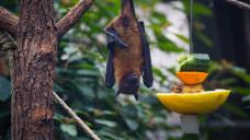 Über Flughunde und Früchte soll sich das Nipahvirus in Indien ausbreiten. (Foto:wideeyes / stock.adobe.com)
