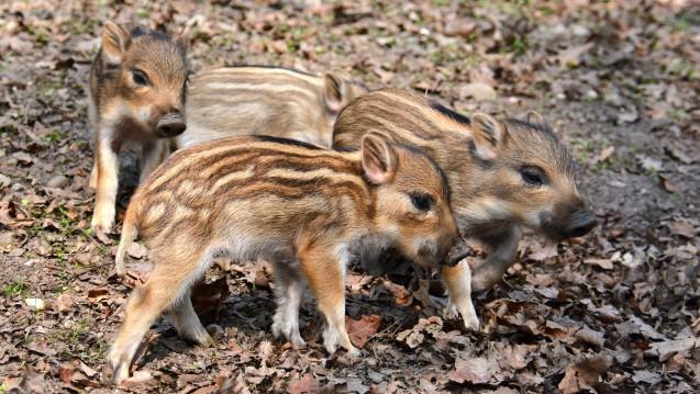 Wildschweine sind von der Afrikanischen Schweinepest derzeit befallen. (Foto: Wiltrud / Fotolia)