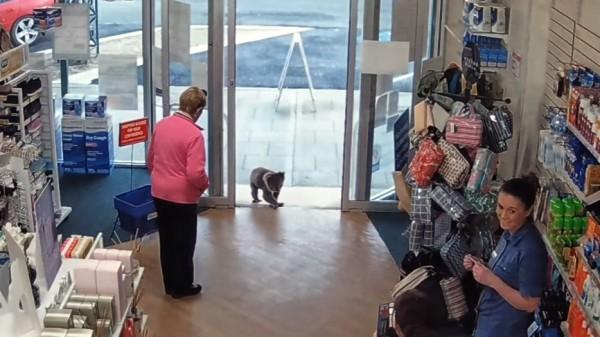 Koala besucht Apotheke