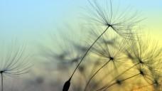 Pusteblumen als Zeichen eines schönen Sommers - Pustekuchen, denkt der Heuschnupfengeplagte da nur. (Foto: supertramp8 / Fotolia)