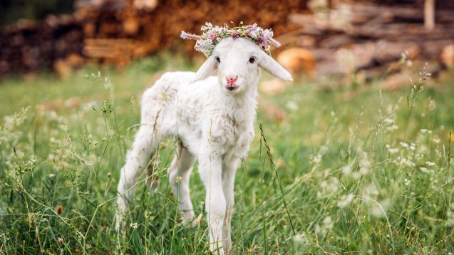 Dank Wollfett ist dieses Lamm gut gegen Feuchtigkeit und Nässe geschützt. (Foto: belyaaa / stock.adobe.com)