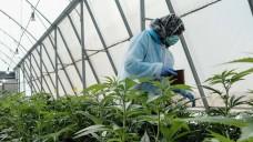 Welche Firmen dürfen in Deutschland Cannabis anbauen? Das BfArM hat inzwischen die Bewerbungsmappen gezählt. Doch bei dem Zeitplan für die erste Ernte gibt es noch ein paar Unwägbarkeiten. ( r / Foto: imago)
