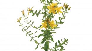 Ausgezeichnete Heilpflanze