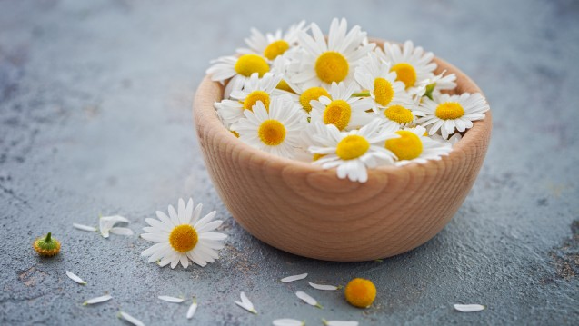 Kamillenblüten sind vielfältig anwendbare Arzneidrogen. (c / Foto:matka_Wariatka / stock.adobe.com)