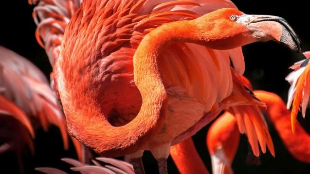 Ein feuerroter Hals: Halsschmerzpatienten erfreuen sich selten eitel daran wie der Flamingo. (Foto. xfargas / Fotolia)