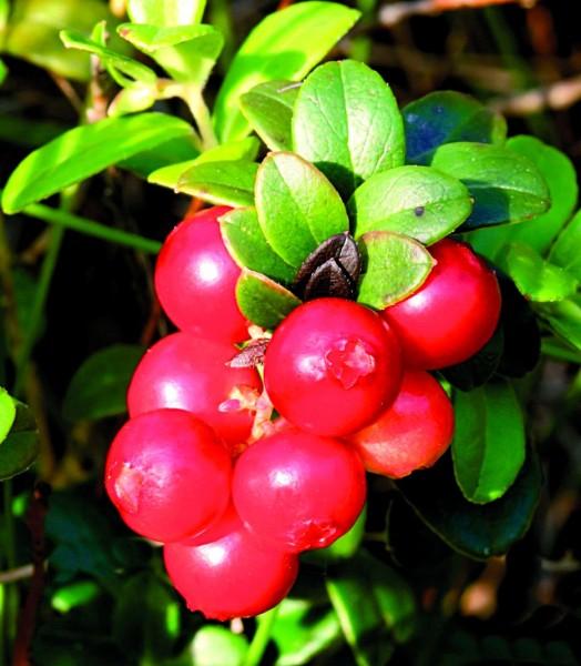 D4009_Cranberry_2.jpg