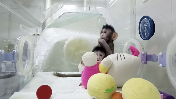 """Forscher klonen erstmals Affen mit """"Dolly""""-Methode"""