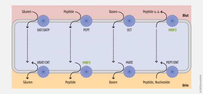 transportproteine steroidhormone