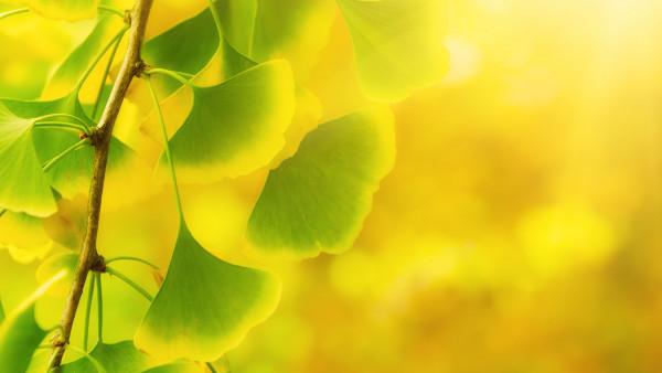 Ginkgo – pflanzliche Hilfe bei Demenz