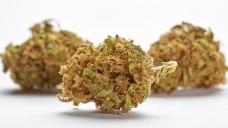 Am 9. März 2017 wurde das Cannabis-Gesetz im Bundesgesetzblatt veröffentlicht. Damit sind Cannabis-Blüten und -Zubereitungen in Deutschland ab dem 10. März verkehrsfähig und können von jedem Arzt unabhängig seiner Fachrichtung verordnet werden. (Foto: Michael / Fotolia)