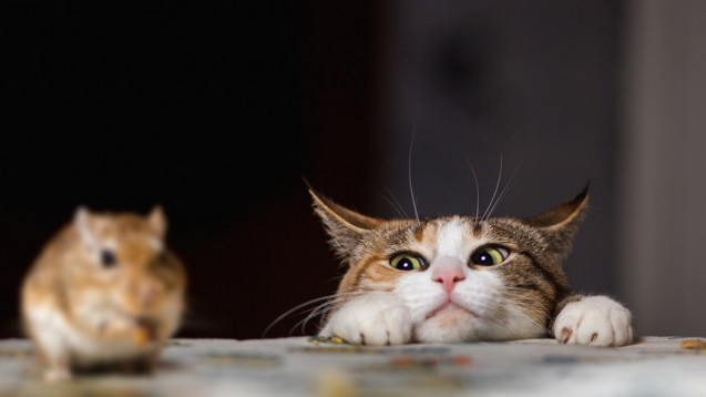 Endwirte des Toxoplasmose-Erregers sind Katzen. (Foto: zsv3207 / Fotolia)