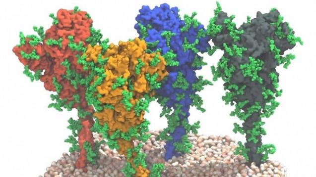 Vier Spikeproteine auf der Membranoberfläche von SARS-CoV-2: Forscher des PEI und MPI haben die Beweglichkeit der Spikeproteine gezeigt. Das kann für die Impfstoffentwicklung von COVID-19-Impfstoffen bedeutsam sein. (Quelle: MPI f. Biophysik / von Bülow, Sikora, Hummer)