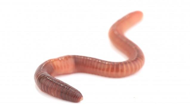Der Ekel ist meist groß: Apotheker beraten häufig zu Wurmerkrankungen. Regenwürmer, wie dieser, sind allerdings völlig unschädlich.  (Foto: Fotomaster / Fotolia)