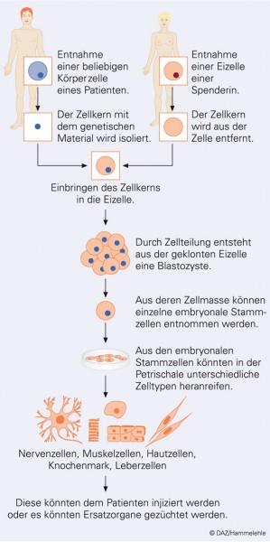 Diskussion um das Klonen menschlicher Zellen
