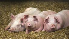 Der Fleischproduzent Tönnies hat sich nach einem kurzen Ausflug ins Pharmageschäft wieder aus diesem zurückgezogen. Seine Schweine sollen aber weiterhin den Grundstoff für Heparin liefern. (Foto: textograf.de / Fotolia)